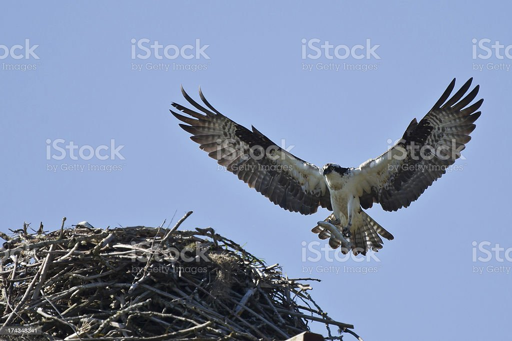 Osprey (Pandion haliaetus) brings fith to the nest stock photo
