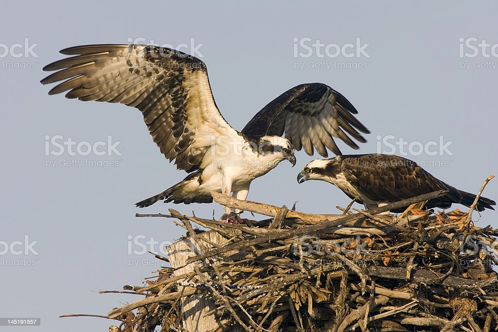 Osprey brings in a fish for his mate to eat stock photo