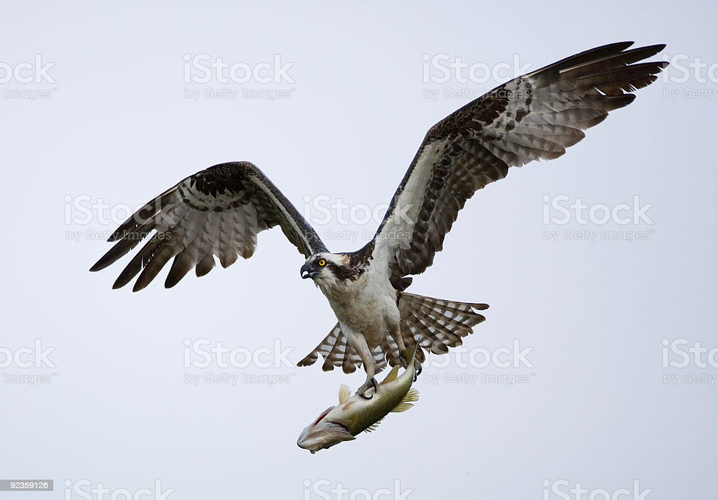 Osprey catches a huge fish stock photo