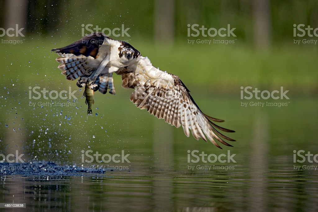 Osprey catching fish stock photo