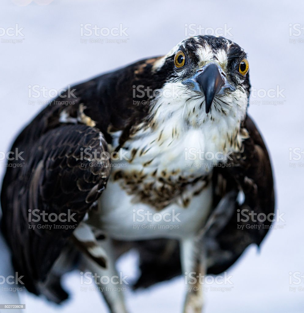 Osprey Closeup stock photo