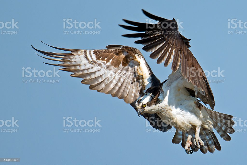 Osprey Diving for Fish stock photo