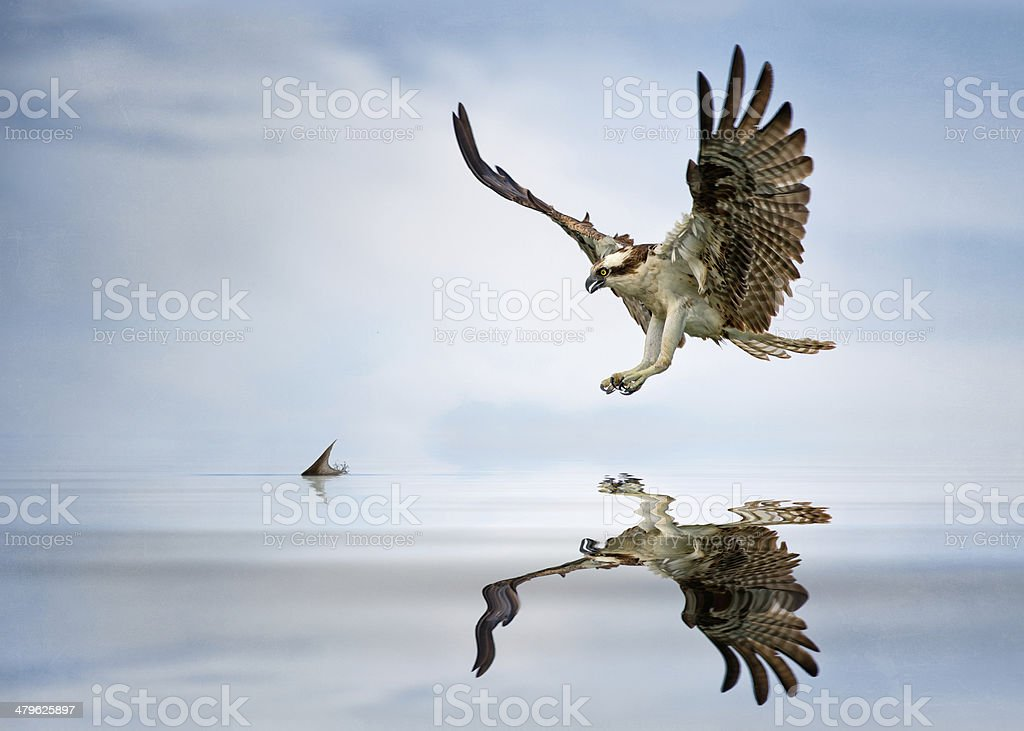 Osprey diving for food stock photo
