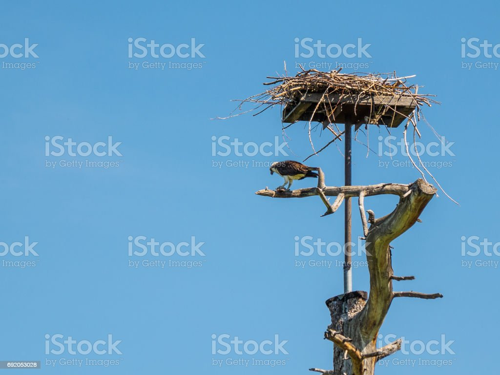 Osprey eating freshly caught fish at his nest stock photo