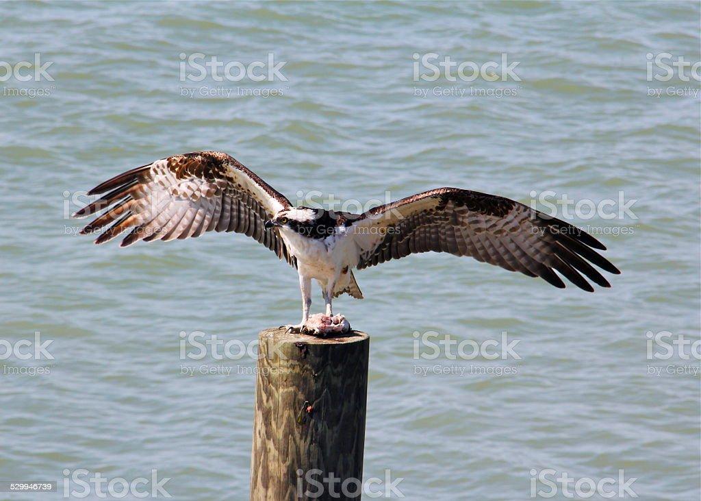 Osprey profitant de la pêche du jour photo libre de droits