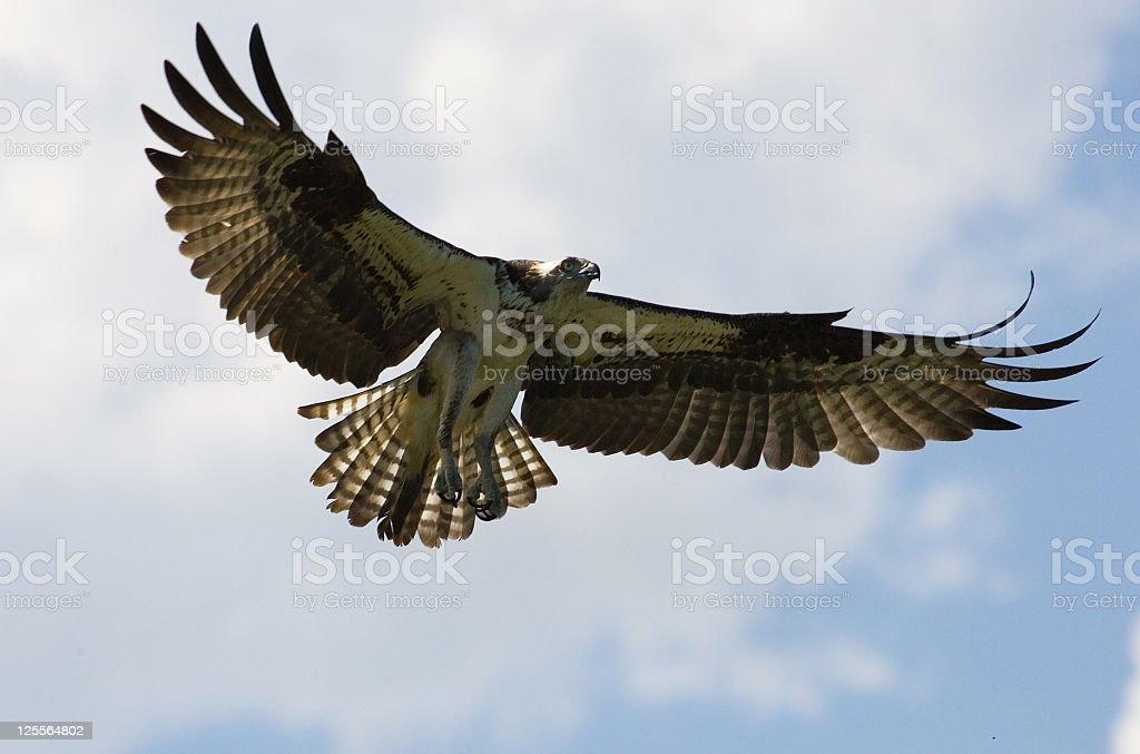 Osprey / fish eagle in Flight stock photo