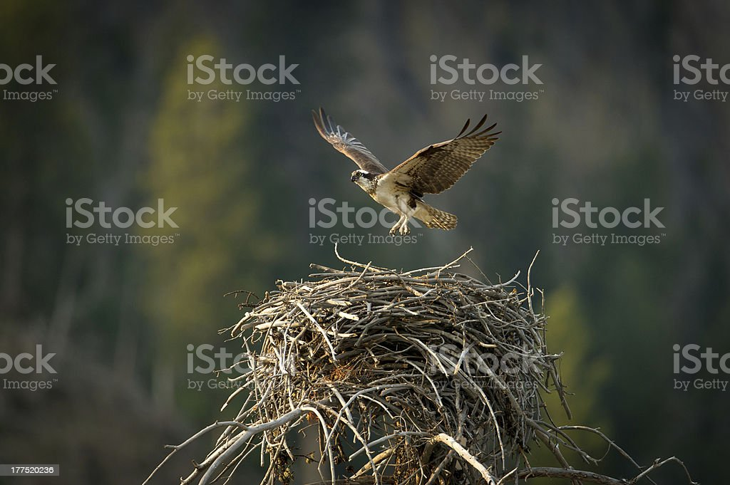 Osprey flying from nest stock photo