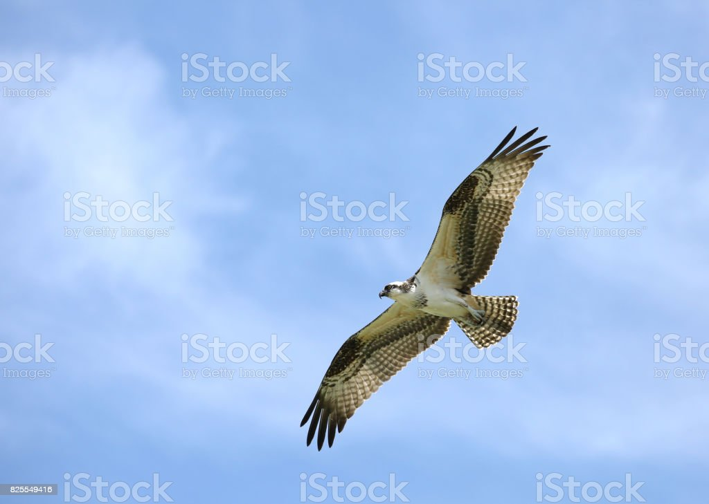 Osprey flying high and searching the Gulf of Mexico for fish stock photo