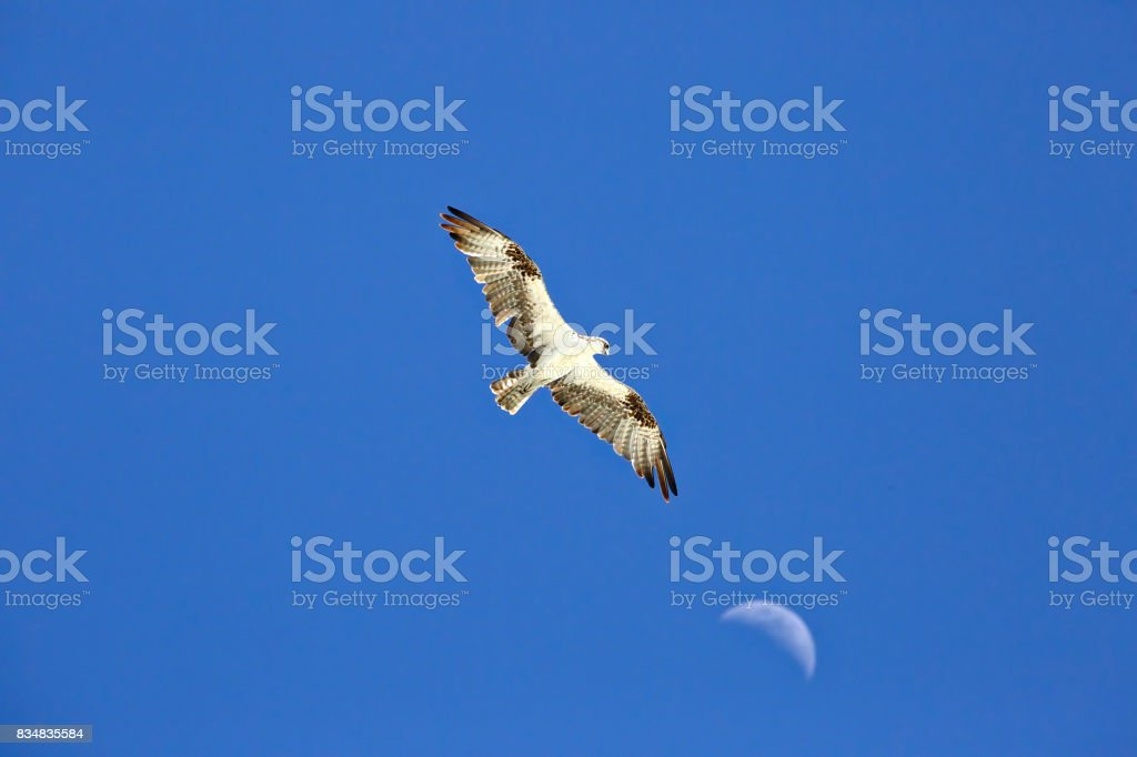 Osprey flying high with the moon in the background stock photo