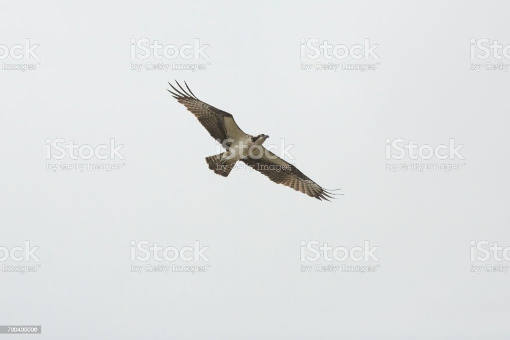 Osprey flying in a cloudy sky in Orlando Wetlands Park. stock photo