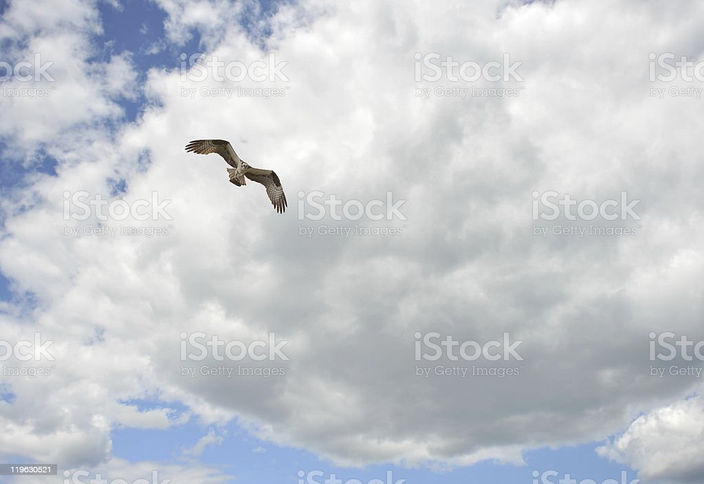 Osprey flying in the sky. stock photo
