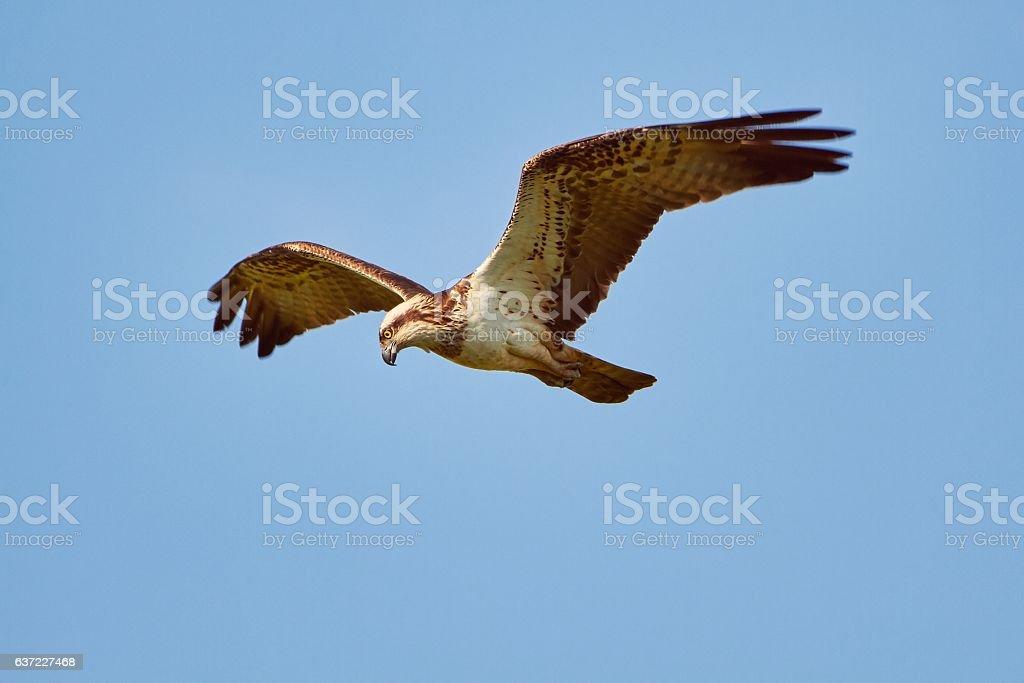 Osprey flying on the sky stock photo
