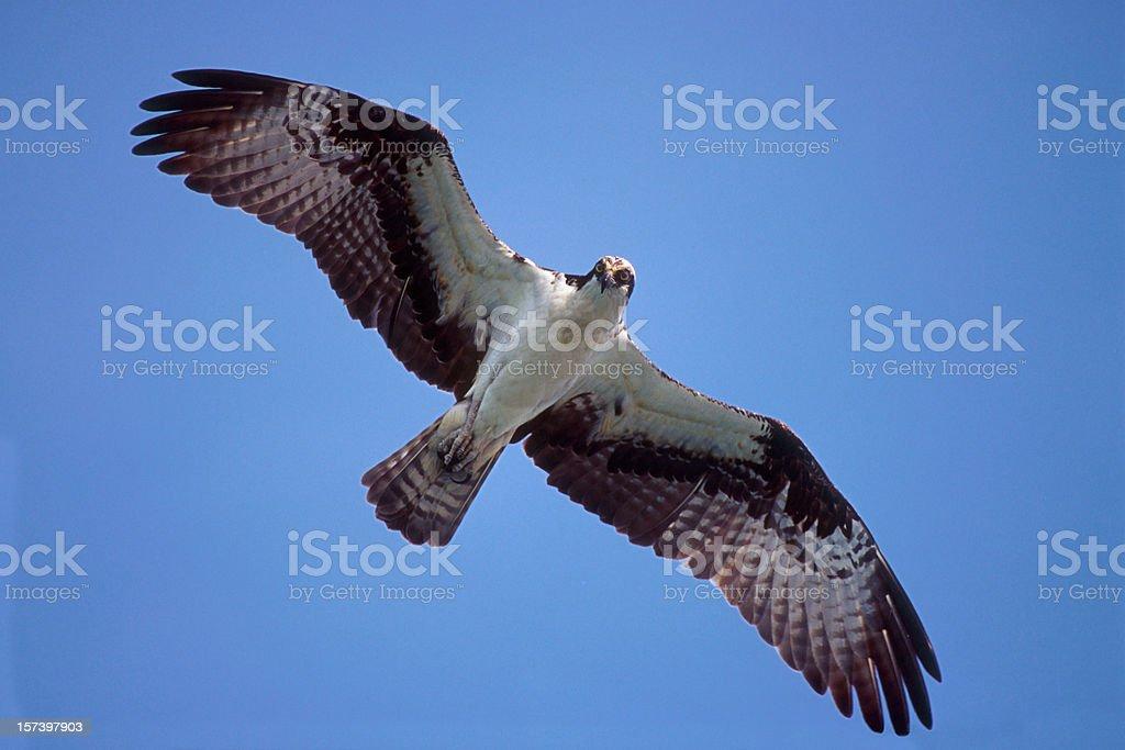 Osprey Flying royalty-free stock photo