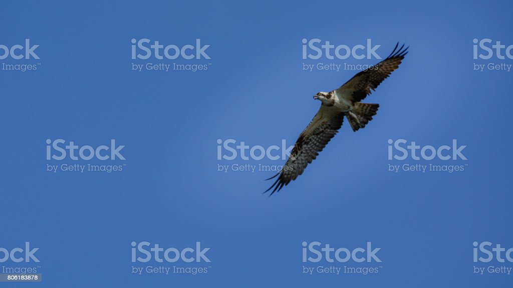 Osprey (Pandion haliaetus) flying stock photo