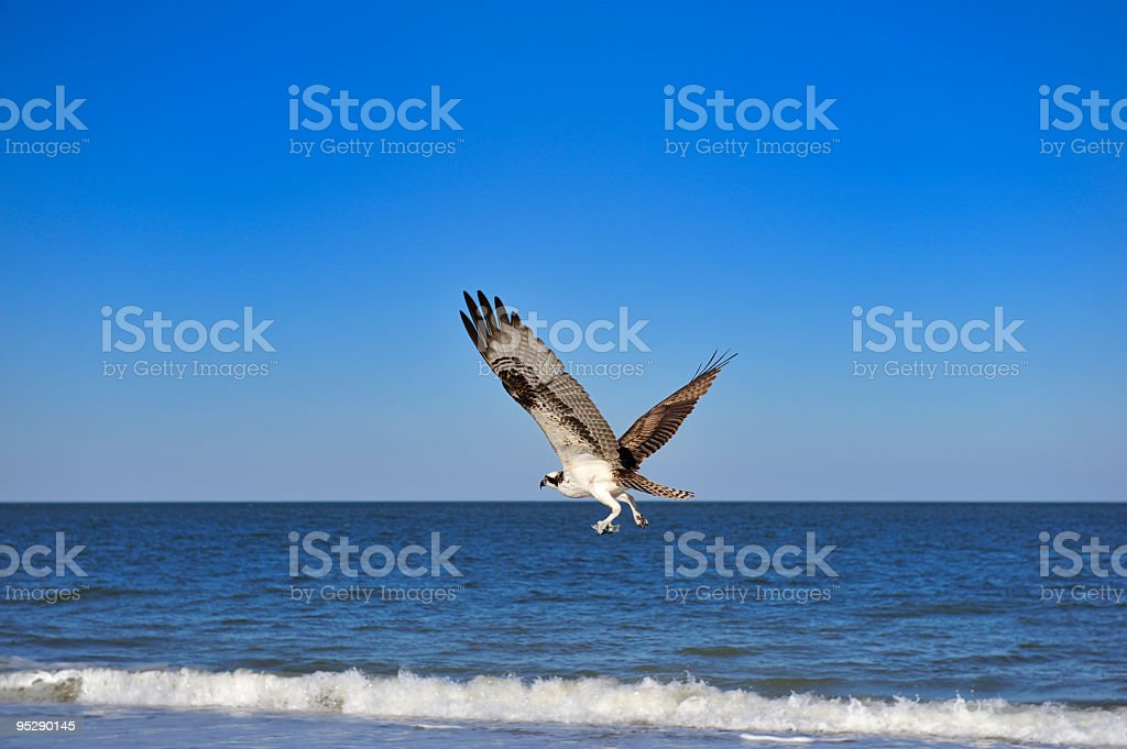 Osprey flying with a fish, bird in Florida