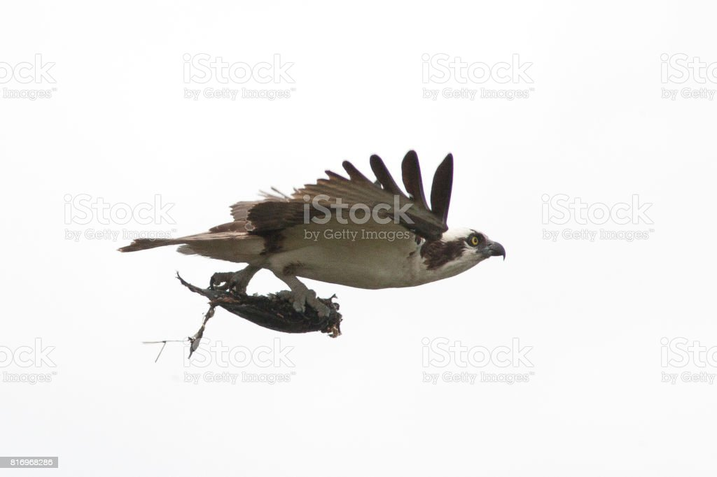 Osprey flying with a fish stock photo