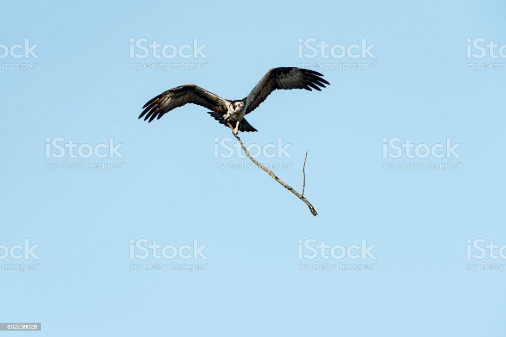 Osprey flying with dead branch stock photo