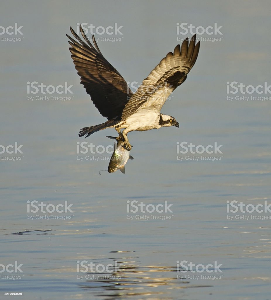 Osprey Flying With Fish royalty-free stock photo