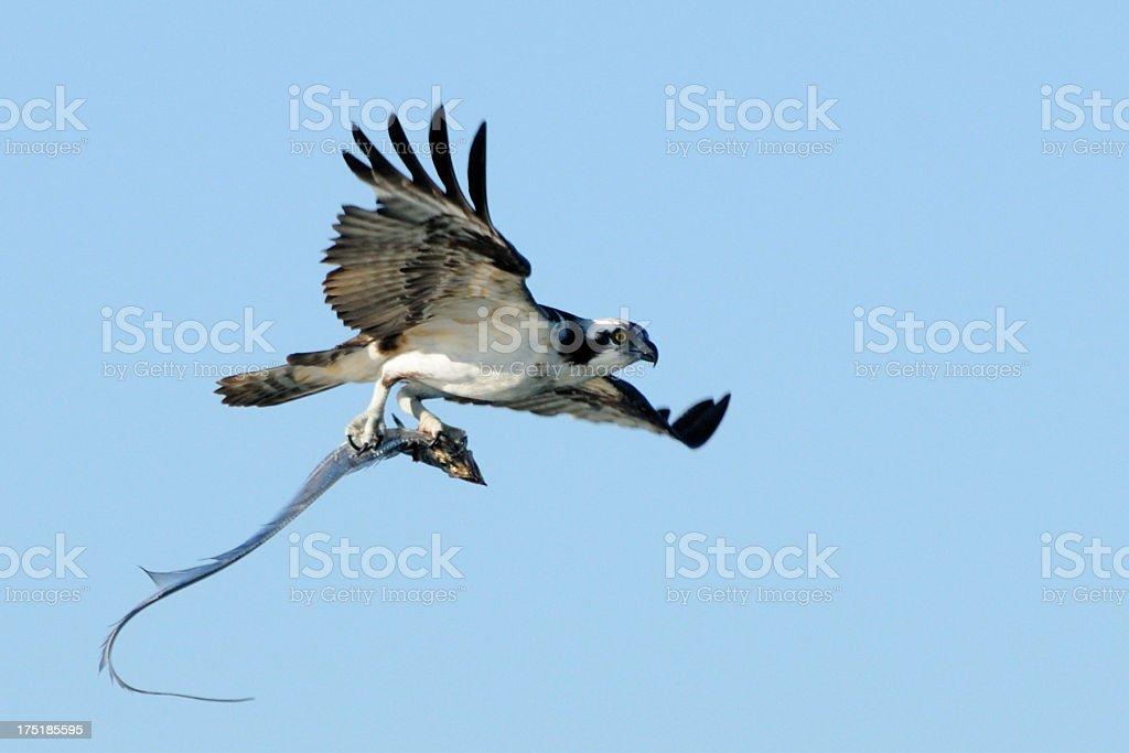 Osprey flying with  Ribbon fish stock photo