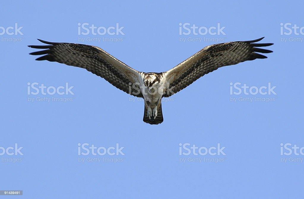 Osprey Hunting stock photo