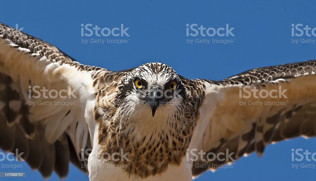 Osprey Hunting Prey stock photo