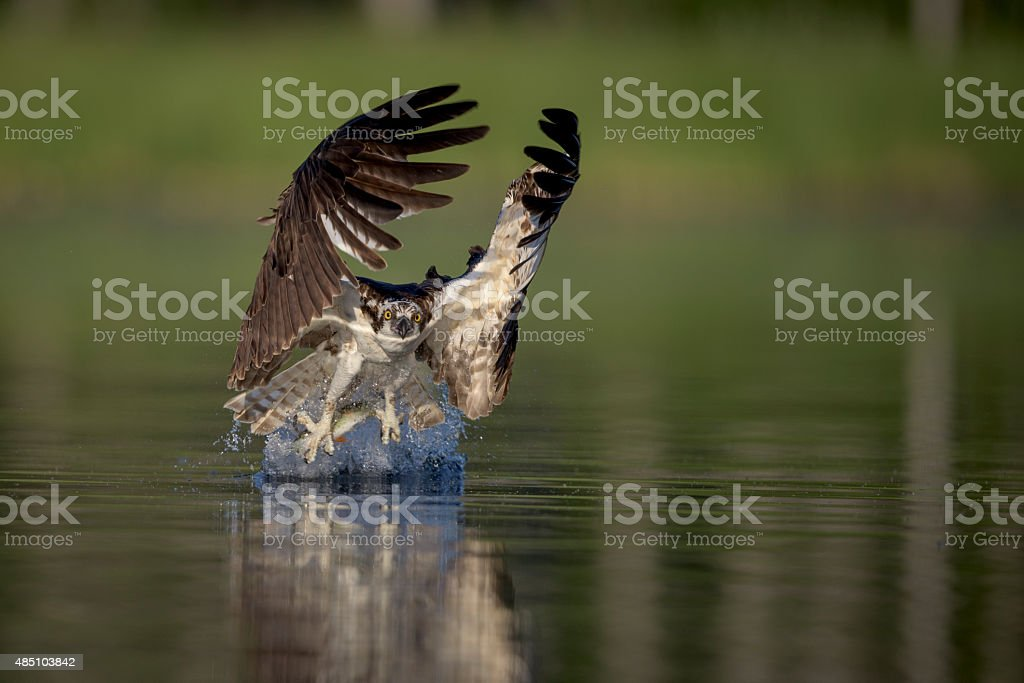 Osprey in action stock photo