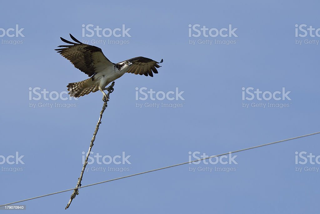 Osprey in flight carries wooden stick stock photo