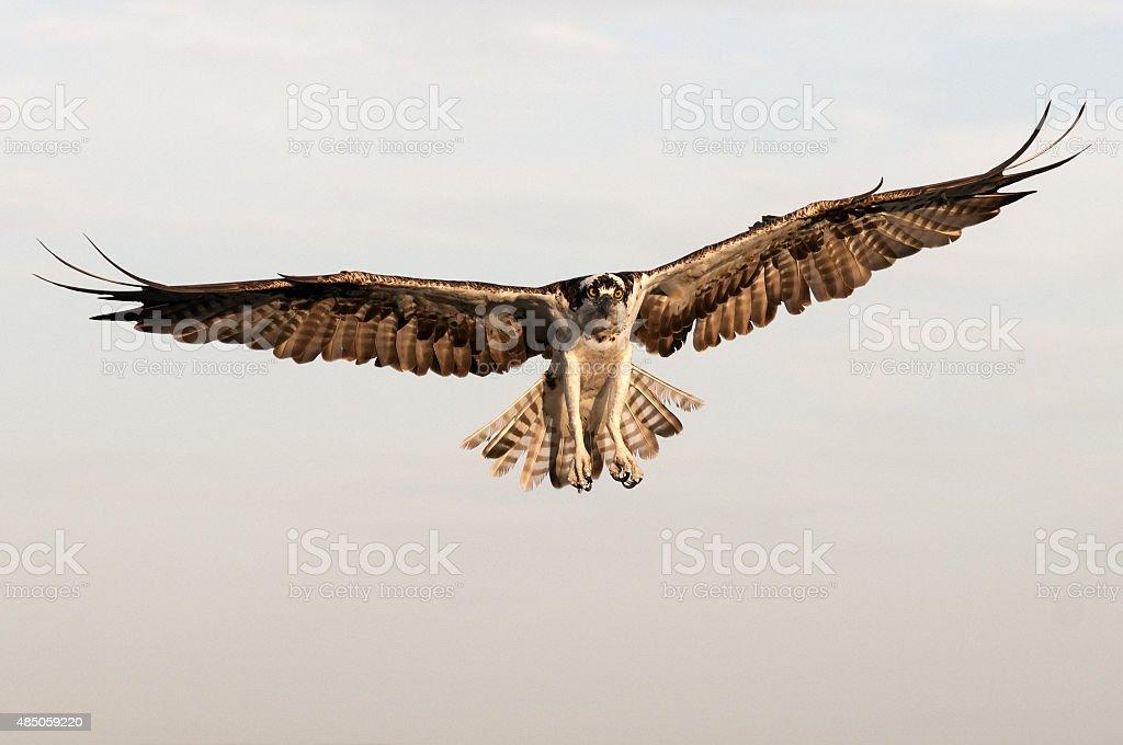 Osprey in flight - Pandion haliaetus stock photo