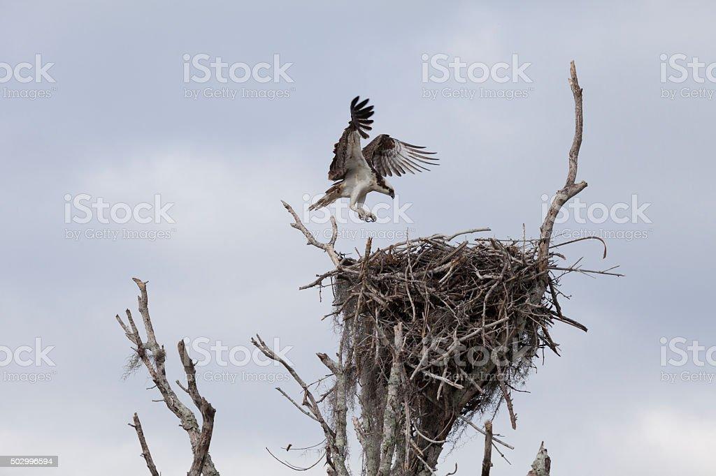 Osprey in flight, returning to the nest, royalty-free stock photo