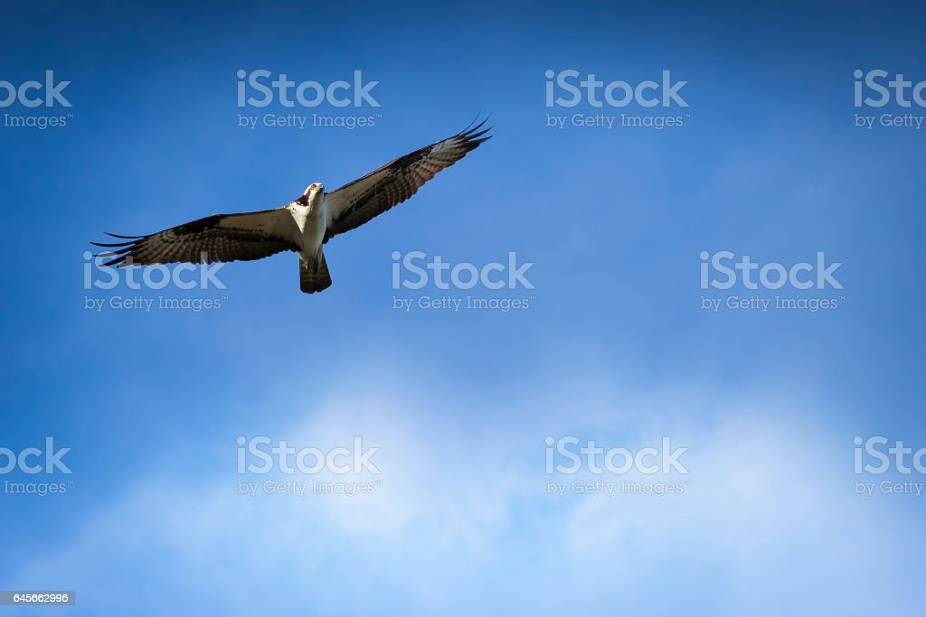 Osprey in Flight with Blue sky and clouds in background stock photo