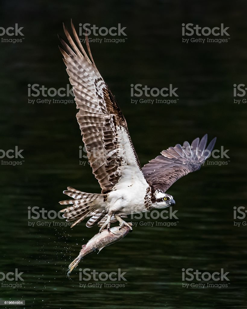 Osprey in Flight With Catch IX stock photo