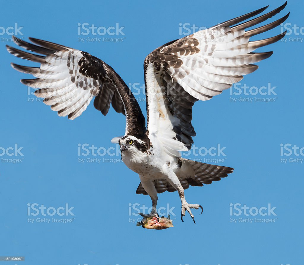 Osprey in flight with fish on blue sky stock photo