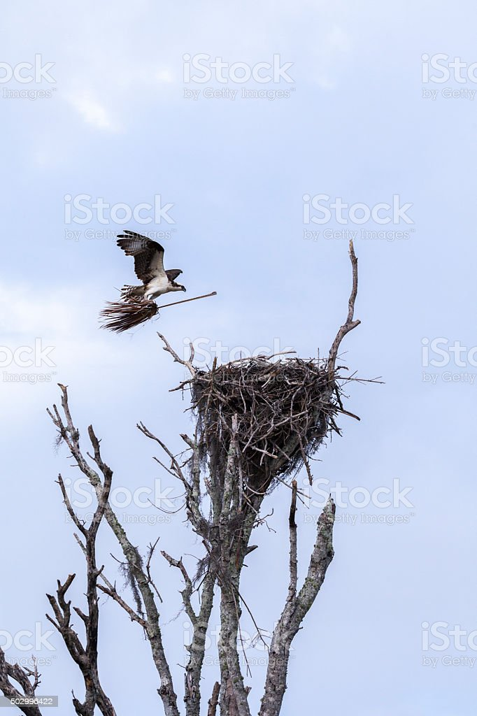 Osprey in Flying on Witches Broom royalty-free stock photo