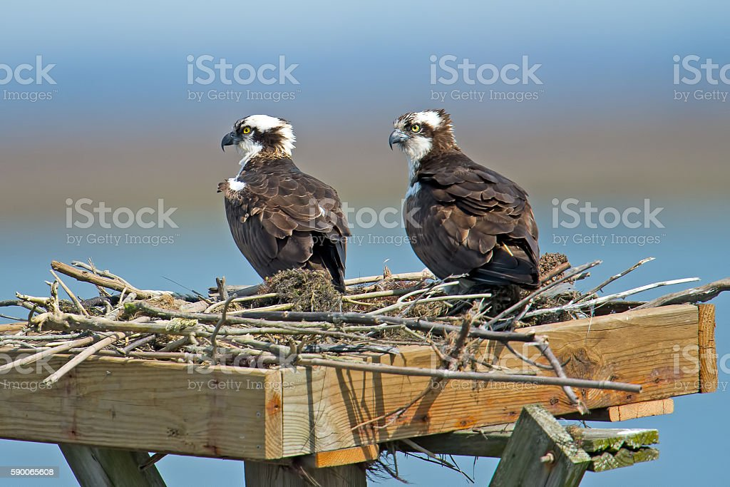 Osprey in Nest stock photo