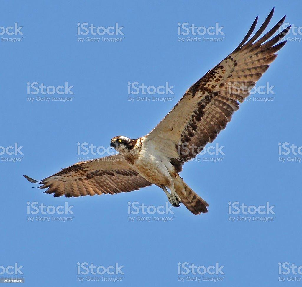 osprey in the sky stock photo