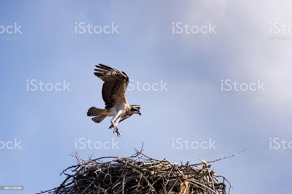 Osprey in Wild Landing in Nest stock photo