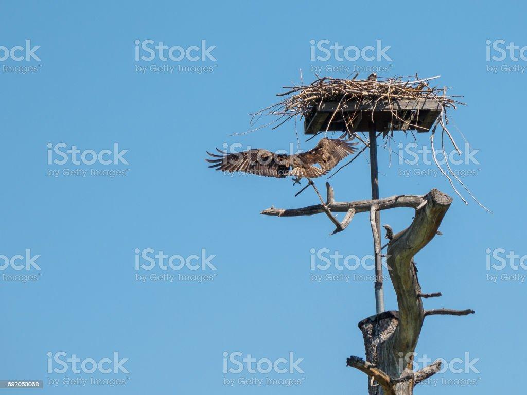 Osprey landing at his nest stock photo