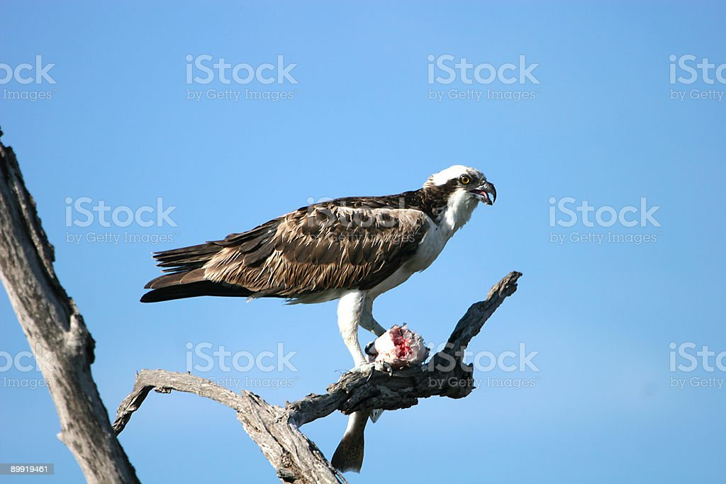 osprey luncheon stock photo