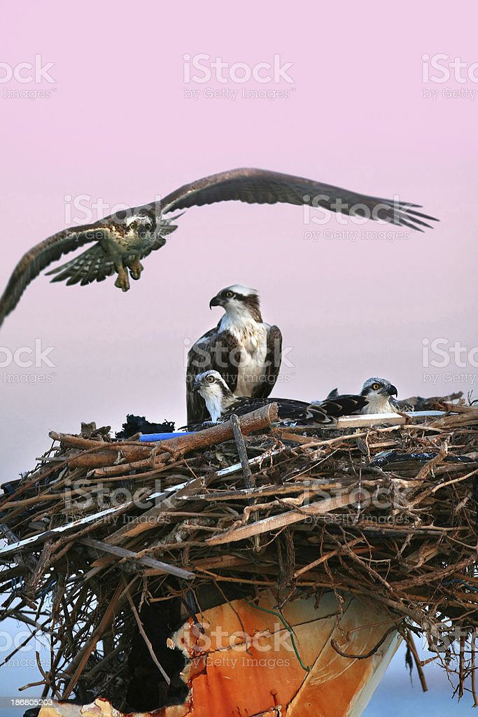 osprey nest stock photo