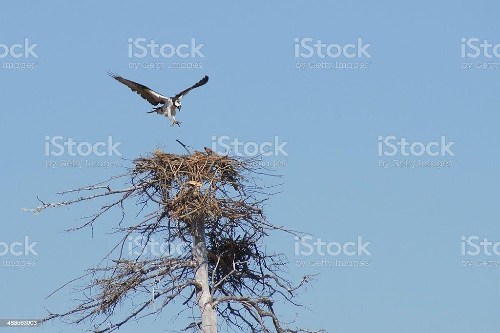 Osprey nesting. stock photo