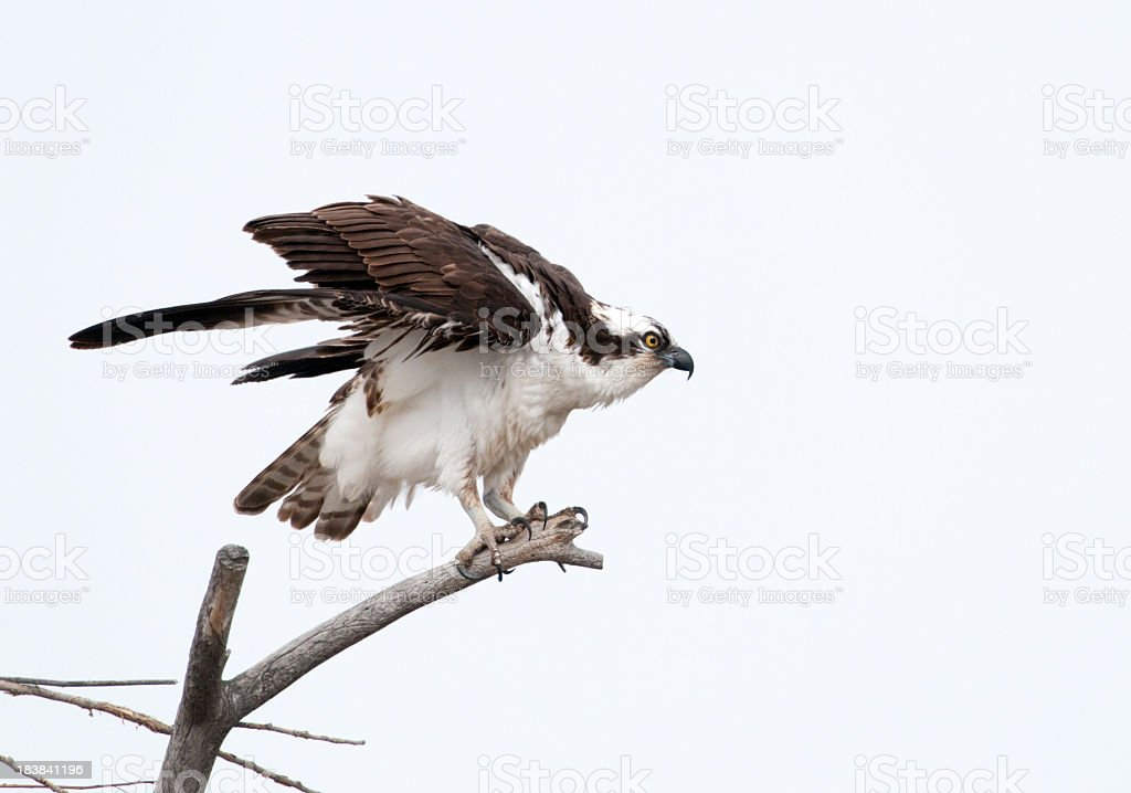 Osprey on a perch, white background stock photo