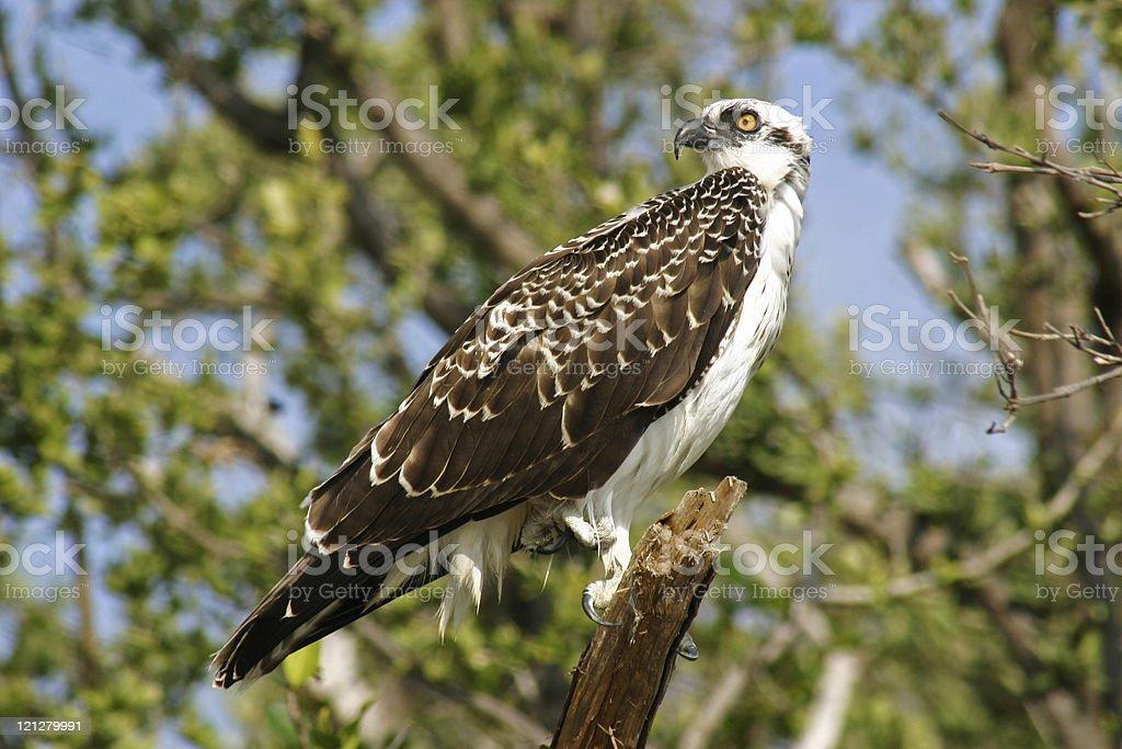 Osprey on branch stock photo