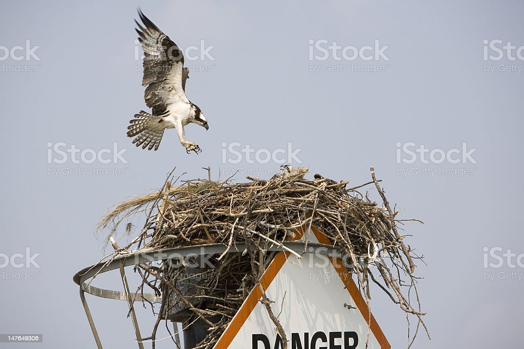 Osprey on nest royalty-free stock photo