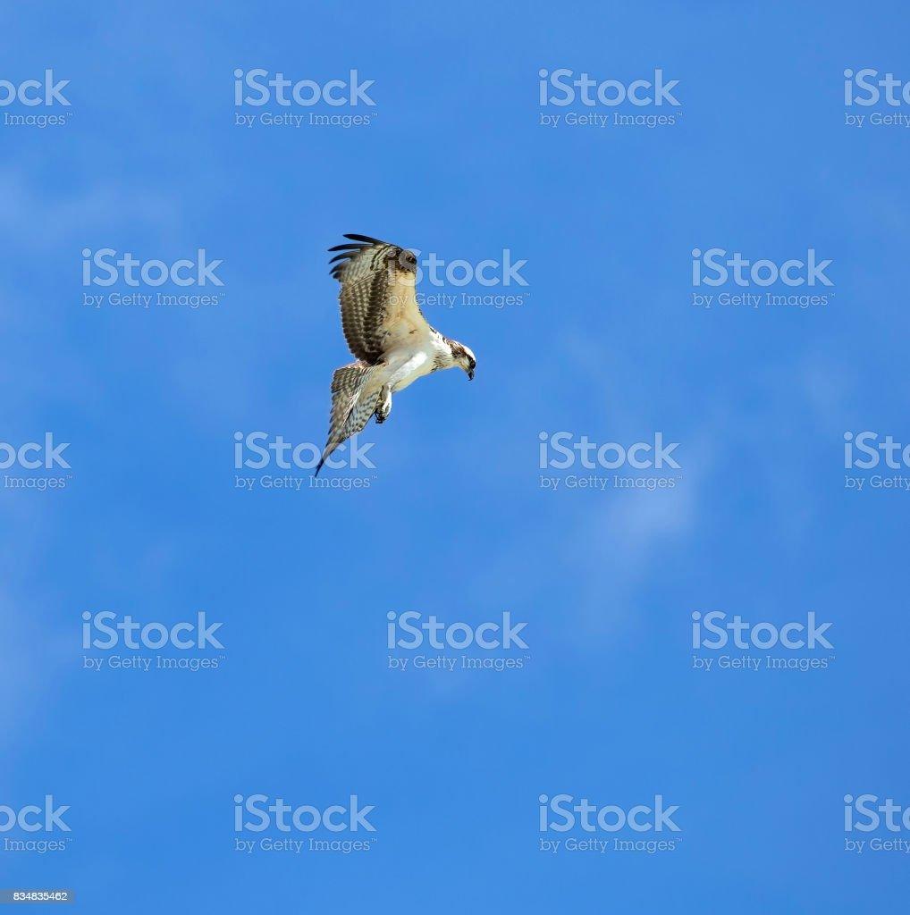 Osprey on the hunt for dinner stock photo