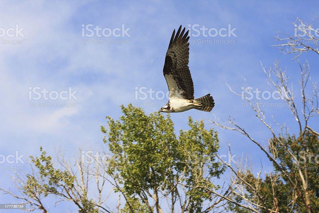 Osprey On The Hunt royalty-free stock photo