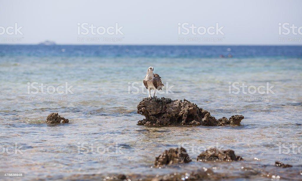 Osprey on the rock stock photo