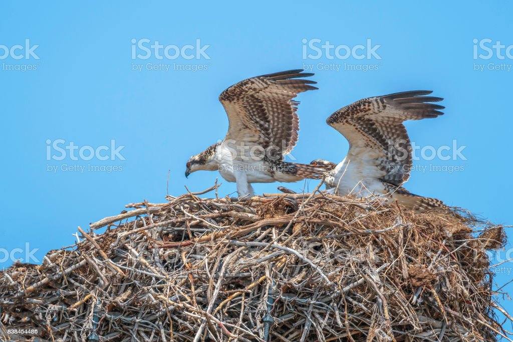 Osprey Pair on Nest stock photo