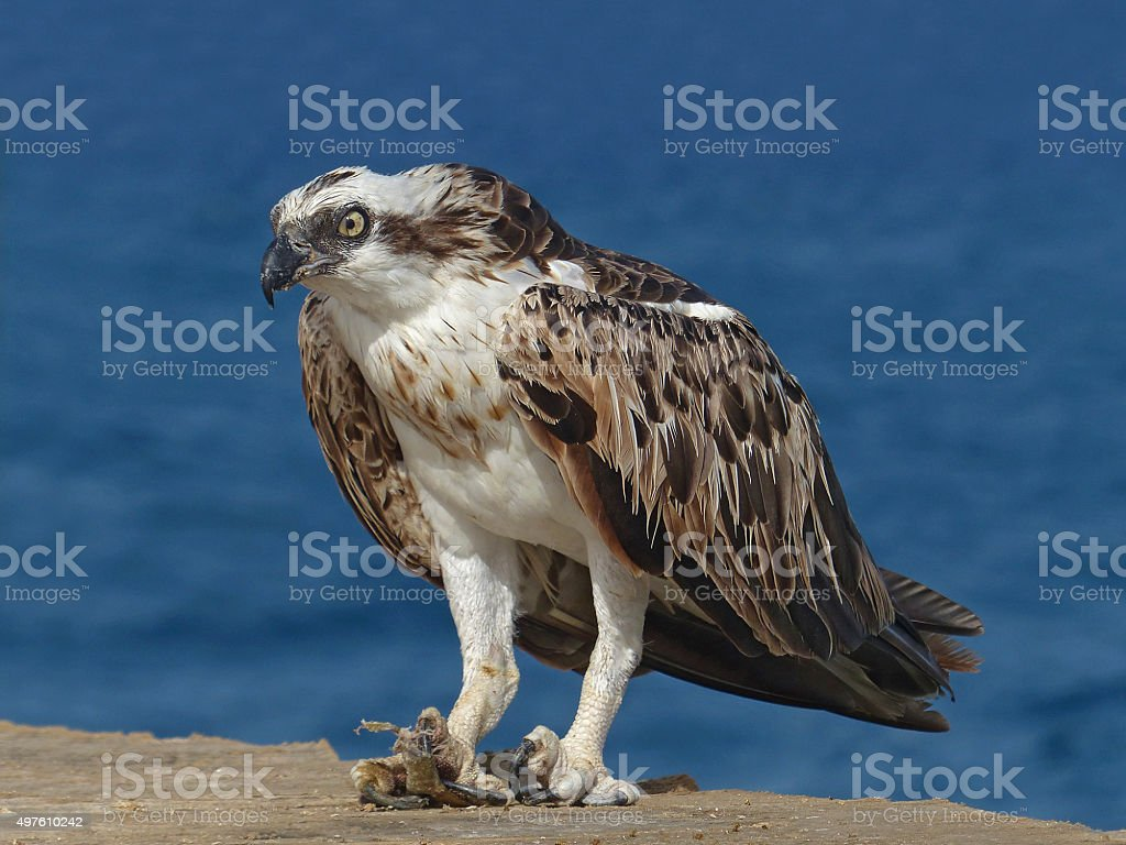 Osprey, Pandion haliaetus, Hamata, Egypt stock photo