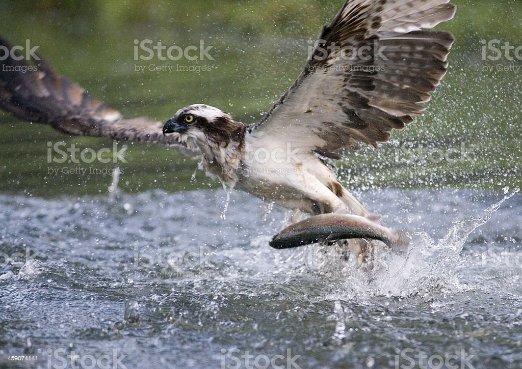 Osprey Pandion haliaetus on the water with a fish stock photo