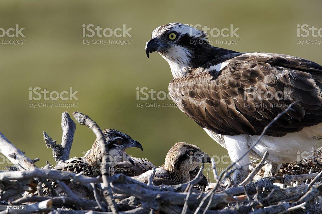 Osprey, Pandion haliaetus stock photo